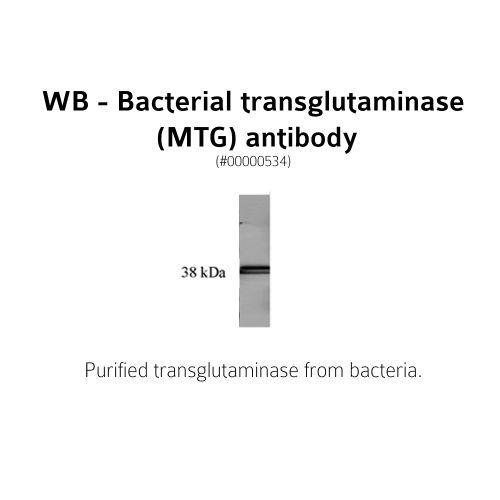 Bacterial Transglutaminase antibody (3C7)