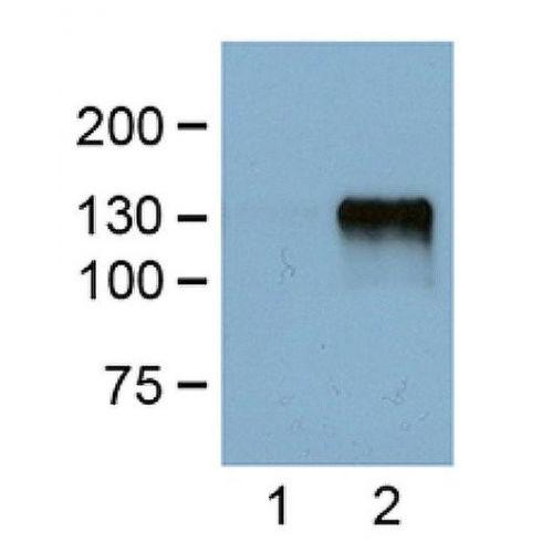 DYKDDDDK Tag antibody (FG4R)
