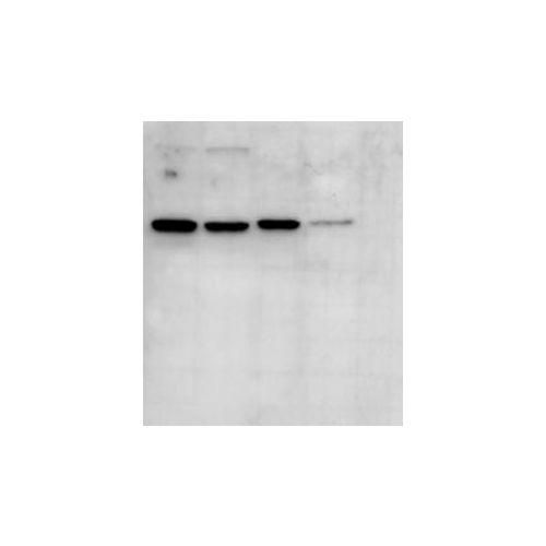 ALIX antibody