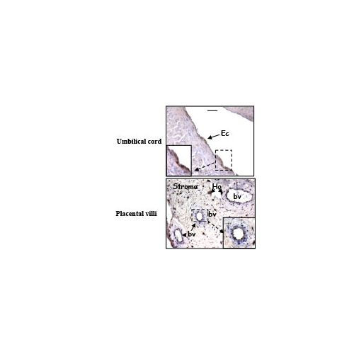 Prokineticin receptor 2 (PK-R2) antibody