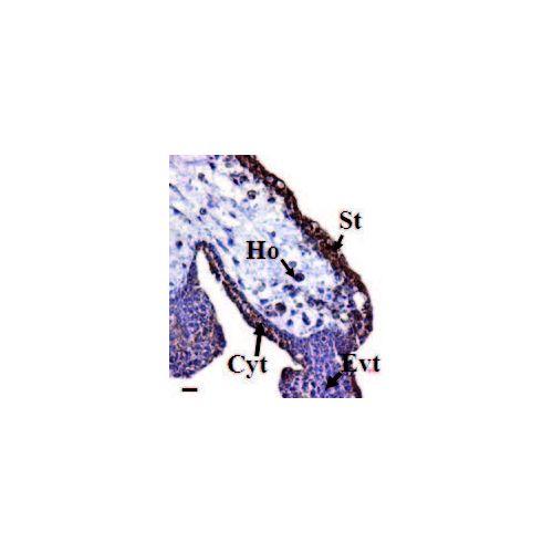 Prokineticin-1 antibody