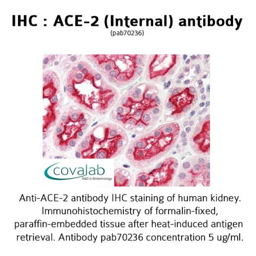 ACE-2 (Internal) antibody