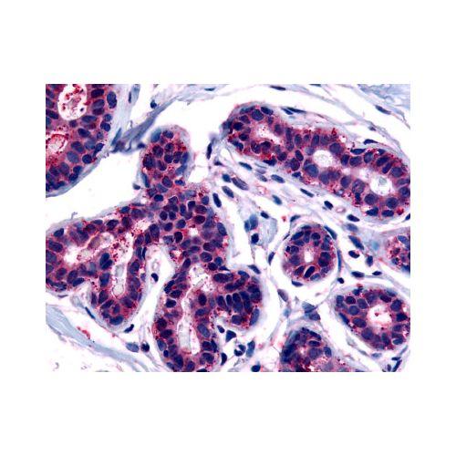 TRIB3 (C-Terminus) antibody