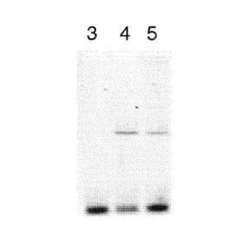 CLOCK antibody