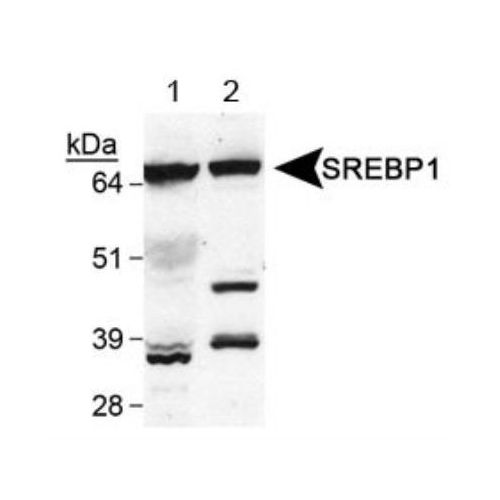 Sterol regulatory element binding protein 1 (SREBP1) antibody