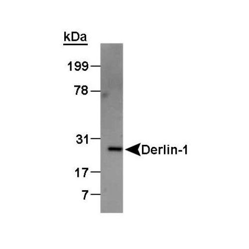 Derlin-1 antibody