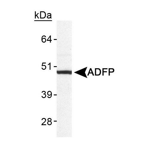 Perilipin-2 antibody