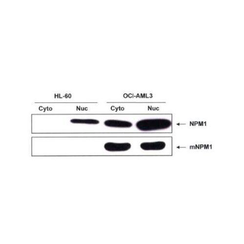 WB - Nucleophosmin antibody<br/>(pab50321)<br/>Anti-Nucleophosmin antibody WB staining of OCI-AML3 lysates.