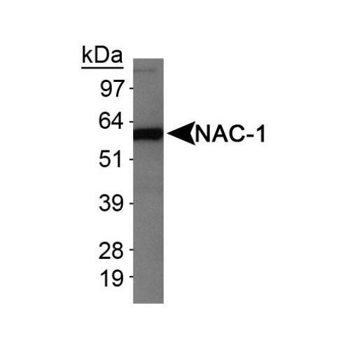 Nac1 antibody (3)