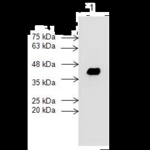 Cardiac Troponin T (7G7) antibody