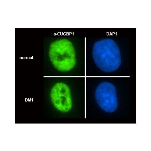 CUGBP1 antibody