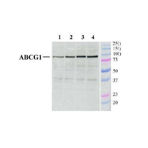 ATP-binding cassette sub-family G member 1 antibody