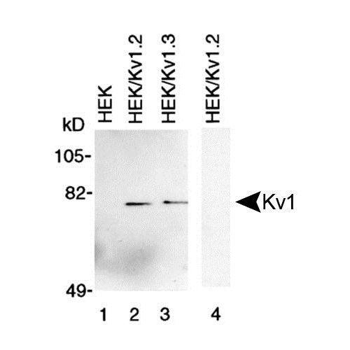 Kv1 antibody