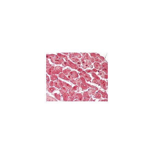 WIPI2 (C-Terminus) antibody (2A2)