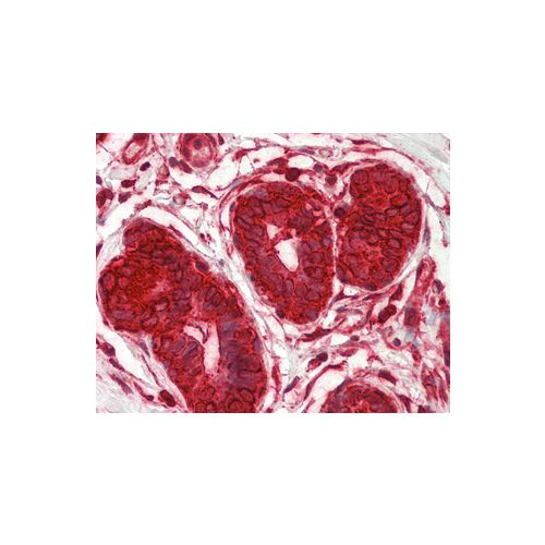 DENR (aa148-198) antibody