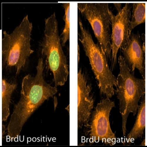 BrdU antibody (Bu20a) [PE]