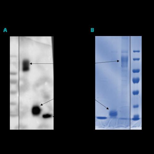 SARS‑CoV‑2 Spike - S1 subunit antibody (27H7)