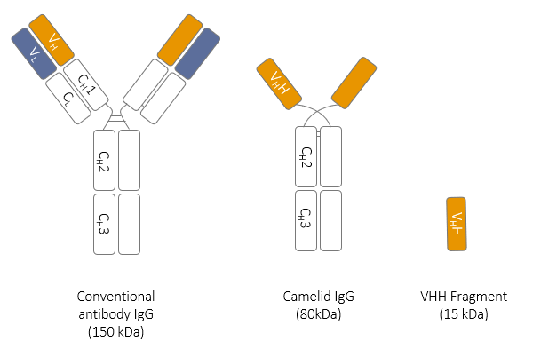 Antibody Format