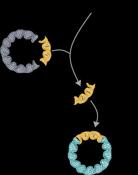 DNA Immunization sub cloning