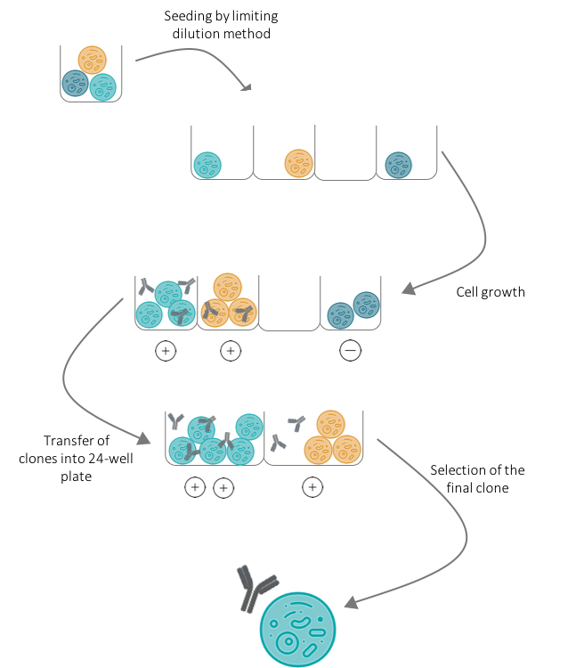 DNA Immunization hybridoma selection