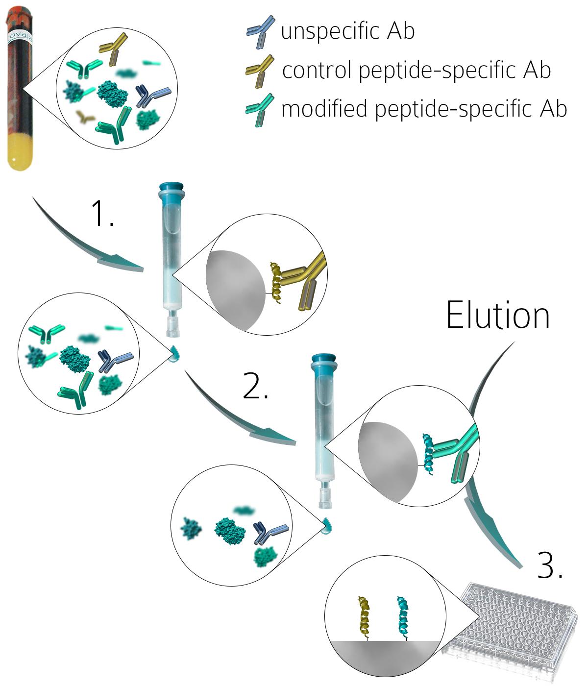 Anti-PTM antibodies purification procedure