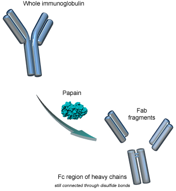 Papain digestion of immunoglobulins