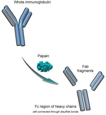 Papain digestion of immunoglobulins