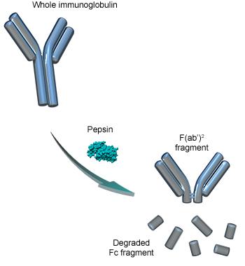 Pepsin digestion of immunoglobulins