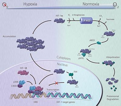 Hypoxia signalling pathway