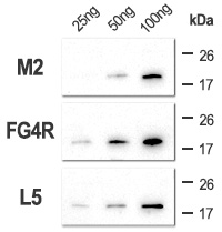 Clone M2 shows less sensitivity