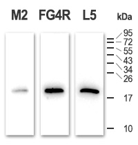 Clones FG4R and L5 show high speficity for DYKDDDDK epitope