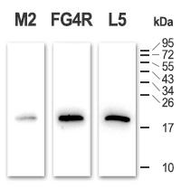 Clones FG4R and L5 show high speficity for DYKDDDDK epitope